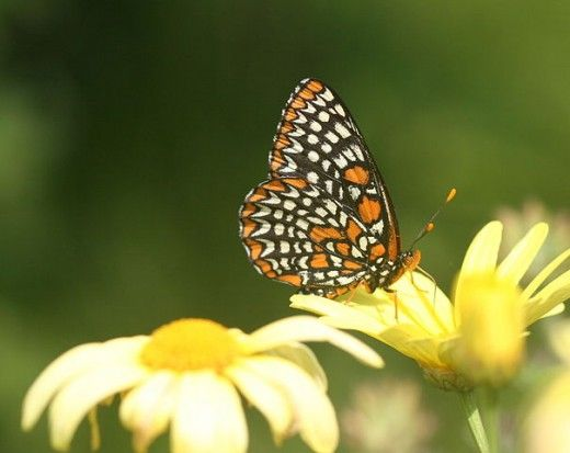 Baltimore Euphydryas Phaeton on a Daisy  FREE