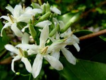 Ayurveda Medicinal Uses of Wrightia Tinctoria-Shweta Kutaja