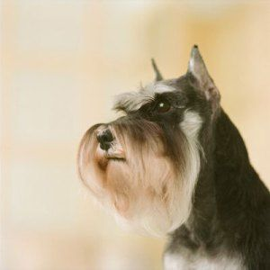 Schnauzers, How pretty is this Little one...Schnauzers look like they need a pipe stuck in their mouths, because they resemble an old man...