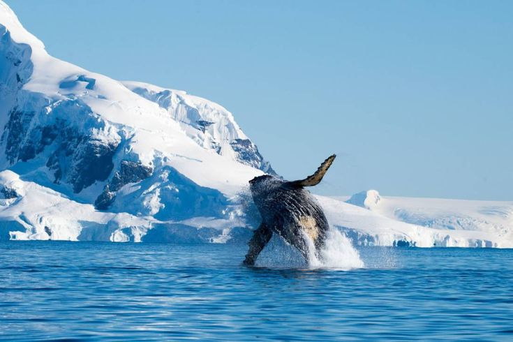 How beautiful is this Humpback whale picture?