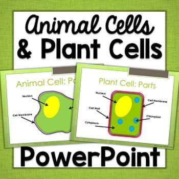 This 10 slide PowerPoint presentation was made to align with Georgia Standards in 5th grade Science.  It covers microorganisms, multi-celled organisms, single celled organisms, plant cell parts, and animal cell parts.  It uses graphic organizers and diagrams to display information.