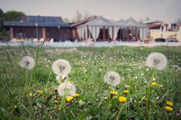 #Dandelions in the park