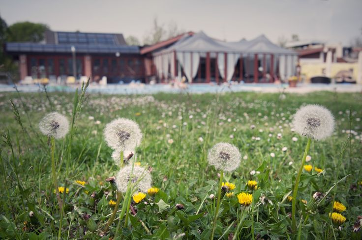 #Dandelions in the park