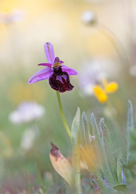 Orchidée de l'île grecque de Rhodes