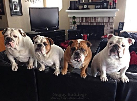 """""""Quick, off the couch, she's back!"""" #dogs #pets #Bulldogs facebook.com/sodoggonefunny"""
