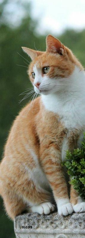 Orange kitties, also called red tabbies, are my favorite!  They are love bugs and chatterboxes.