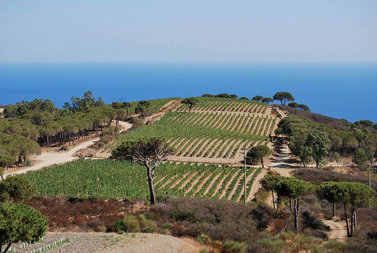 Tenuta delle Ripalte (Capoliveri – Elba island), famous for its Aleatico wine production