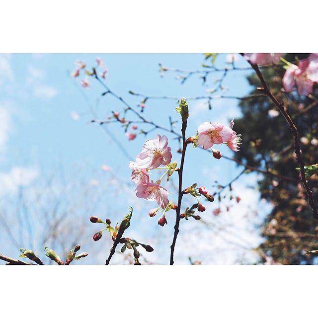 【iiharukaii】さんのInstagramをピンしています。 《Yo Cherry blossoms are blooming already in Japan! 2日2晩晩夜も眠れない歯痛と戦いながらの接待が幕を閉じた。最後は酷くなりすぎて麻酔も効かなくて都内戻った後に駆け込んだ歯医者さんで丸々一時間ガタガタ震えながら泣いてた😞でも接待は喜んでもらえたし、日本の良い所沢山見てもらえたからミッションコンプリート。帰りは桜まで見れたって最強じゃない?  #2日間ほぼ一時間おきにロキソニンと他の痛み止め飲んでた#歯どころか頭も耳も痛くて死ぬかと思った#桜#伊豆#静岡#写真#早咲き#日本#空#お花#綺麗 #写真撮ってる人と繋がりたい #写真好きな人と繋がりたい #ファインダー越しの私の世界 #vsco#vscoedit#vscogood#vscodaily#team_jp#igersjp#icu_jp#雰囲気#素敵#おはよう#おはようございます#cherryblossom #flowers》