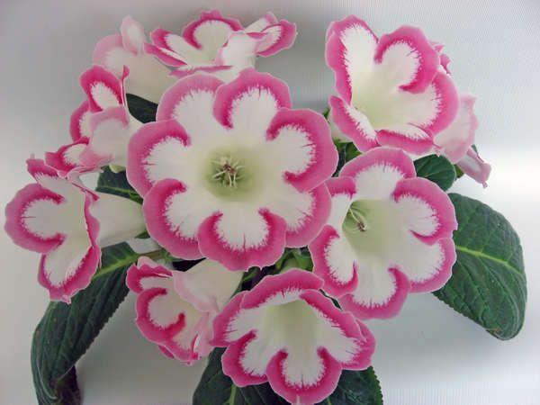 Розалинда Sinningia (gloxinia) 'Rosalind': Розалинда Фрау, Глоксинии Розалинда, Розалинда