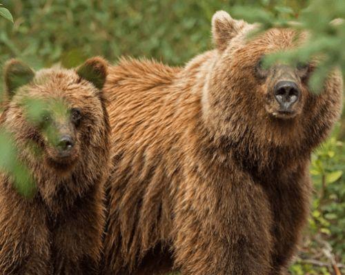 Медведи гризли на прогулке