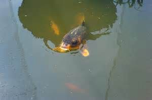 25 Best Images About Catfish And Cleaner Fish In Ponds Lakes From Florida Pond Management On
