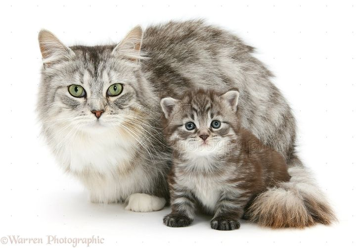 WP17663 Maine Coon mother cat, Bambi , and her tabby kitten, Goliath. #facts - More info about cat at Catsincare.com!