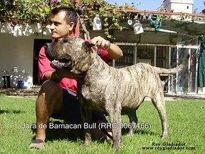 Perro de Presa Canario (eng.)
