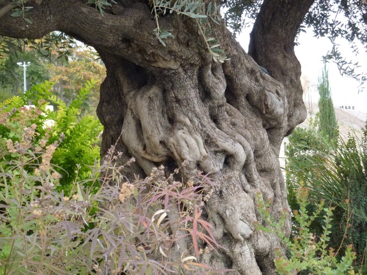 Ancient Olive Tree - City of David, Jerusalem