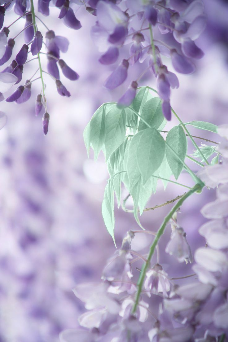 ⭐ purple green wisteria . blossoms flowers . 201606