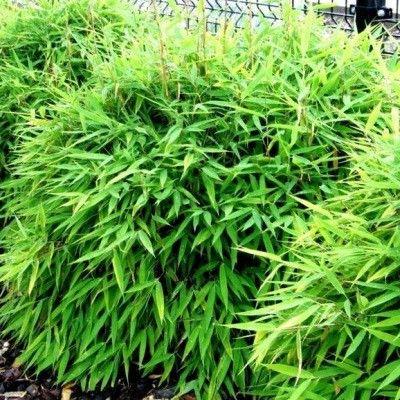 LeBambou Fargesia 'Sigita' est idéal pour les petites haies ! Avec ses rhizomes non traçants, ce petit Bamboufargesia 'Sigita' vous offre un beau feuillage vert tendre.En vieillissant, les gaines du Bambou Fargesia 'Sigita' deviennent rouges ! Elles sont très esthétiques. Les cannes bien vertes duBambou Fargesia 'Sigita' ont l'avantage d'offrir des hauteurs n'allant pas au dela des 1.5m.Ce qui fait de ce petit bambou, le sujet idéal pour une p...