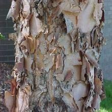 Betula nigra (River Birch) is quite popular here in the midwest.  Makes a great centerpiece for a landscape bed or around a small pond/water feature.