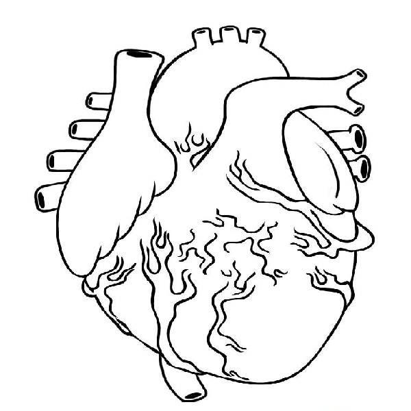 Resultado de imagen para dibujo del corazon y sus partes para colorear