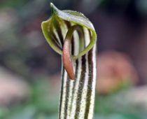 Arisarum vulgare Αρίσαρο το κοινό