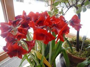 Így lesz csodás virága az amarillisznek http://balkonada.cafeblog.hu/2016/02/07/igy-lesz-csodas-viraga-az-amarillisznek/
