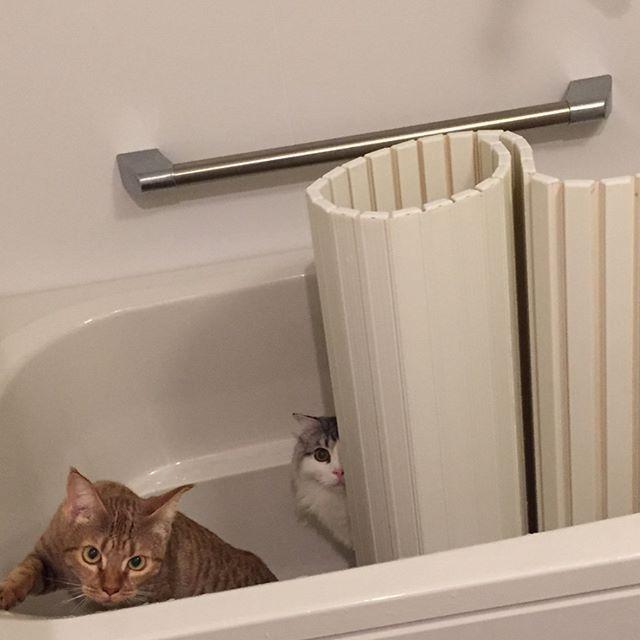 パトロール中のぽてまめ #猫 #cat #고양이 #子猫 #kitty #kitten #새끼고양이 #スコティッシュフォールド #scottishfold #ぽて #pote #포테 #オシキャット #ocicat #こまめ #komame #코마메 #愛猫 #お風呂 #bathroom