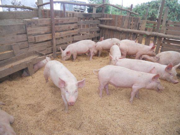 camas profundas - camas profundas para cerdos