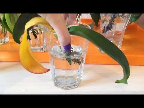 Реанимация  орхидей