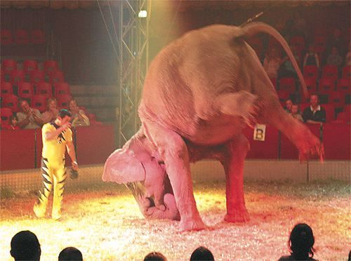 circus cruelty The use of animals in the circus has been controversial since animal welfare  groups have documented instances of animal cruelty.