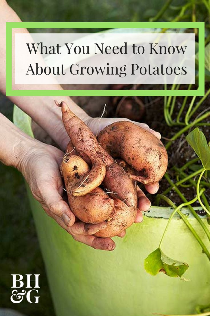 Skip the produce section and grow potatoes in your own yard with our helpful tips! All you need is a sunny space to grow, a steady supply of water, and seed potatoes—yes, you heard that right. You can grow potatoes from potatoes! #potatoes #gardening #growyourownfood #vegetablegardening