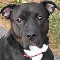 Pictures of Felicity a American Pit Bull Terrier for adoption in Hilliard, OH who needs a loving home.