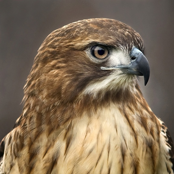 RED TAILED HAWKs fly all around Mission Canyon all day...