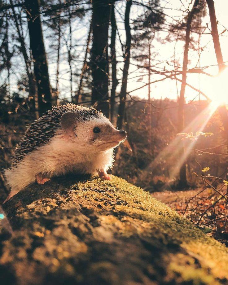 pinsunflower on hedgehogs  cute hedgehog animals