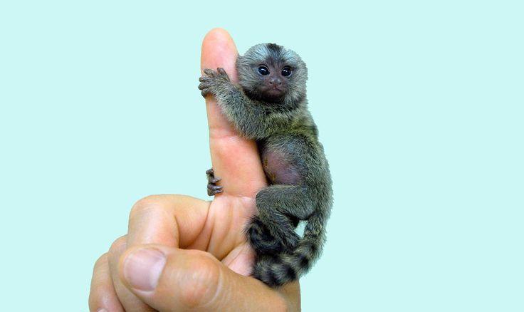 L'ouistiti pygmée, le plus petit singe au monde