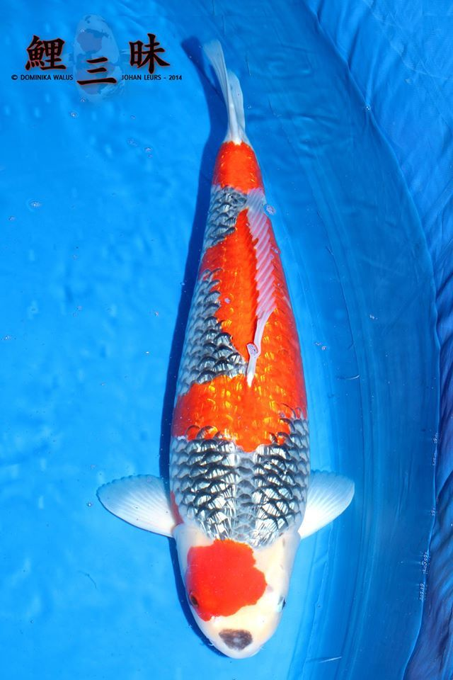1000 images about ginrin koi glitiring on pinterest for Yellow koi fish for sale