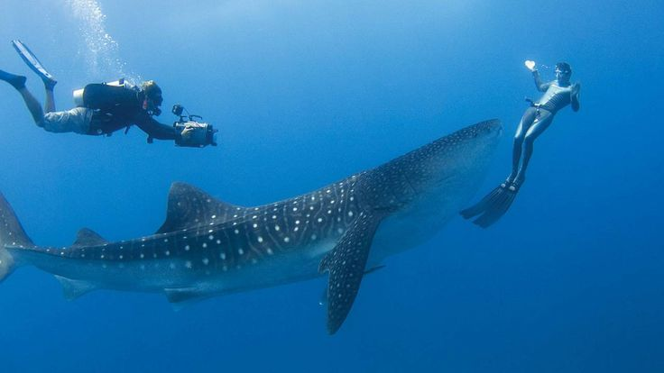Swim with Whale Sharks: Buckets Lists, Whales Sharks, Whale Sharks, Four Seasons, Whaleshark, Scubas Diving, Scuba Diving, Maldives Resort, The Maldives