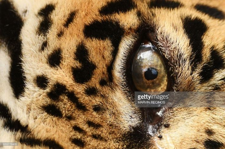 Picture of an eye of a jaguar (Panthera onca) named Greco, taken after it underwnet surgery at the National Zoo of El Salvador in San Salvador on March 20, 2017. The animal, which was mistreated by the tamers of a circus, was rescued by the police and zoo personnel. / AFP PHOTO / Marvin RECINOS