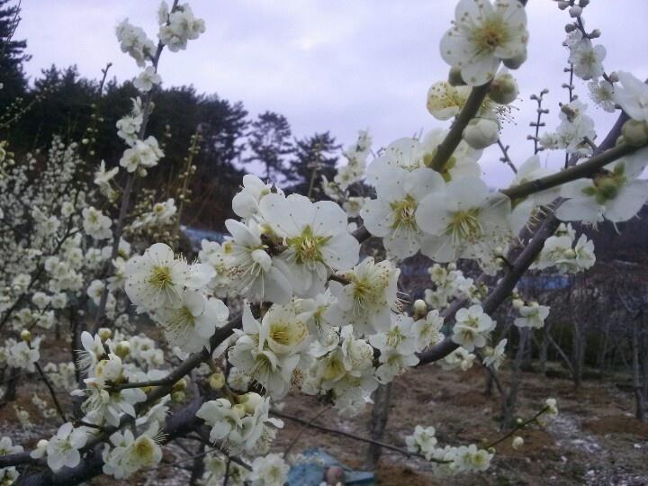 광양엔 봄 향기가 가득하네요!!! 매화꽃 보러 광양으로 오세요!!!  http://m.blog.naver.com/yungarang/100181760624
