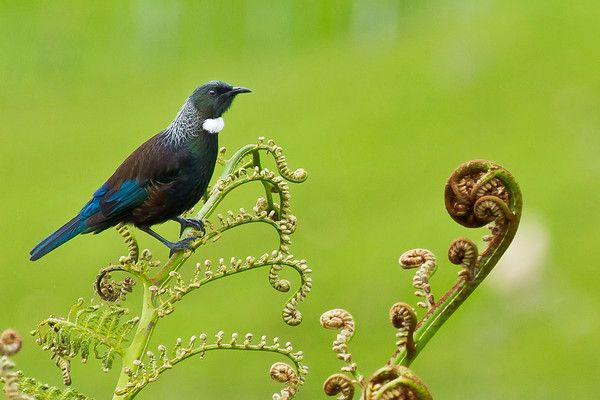 nature new zealand tui - Google Search