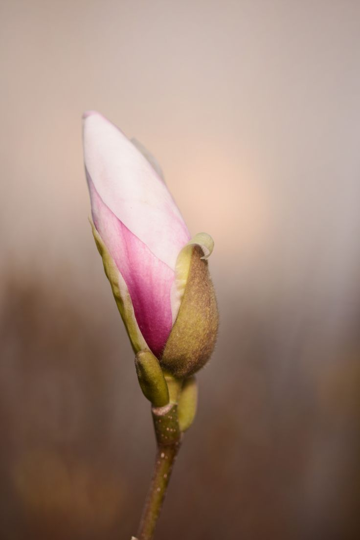 25 best ideas about magnolia soulangiana on pinterest. Black Bedroom Furniture Sets. Home Design Ideas