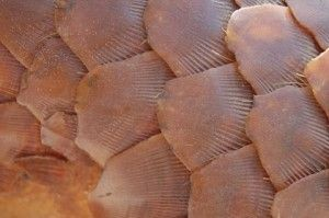 Detail of pangolin scales