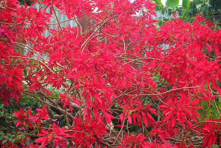 One of the most beautiful signs of Christmas in Barbados is the Poinsettia. The Poinsettia is a traditional holiday adornment used to decorate tables, patios and entryways but is often found at its most beautiful growing outside in the gardens of many Barbados homes.