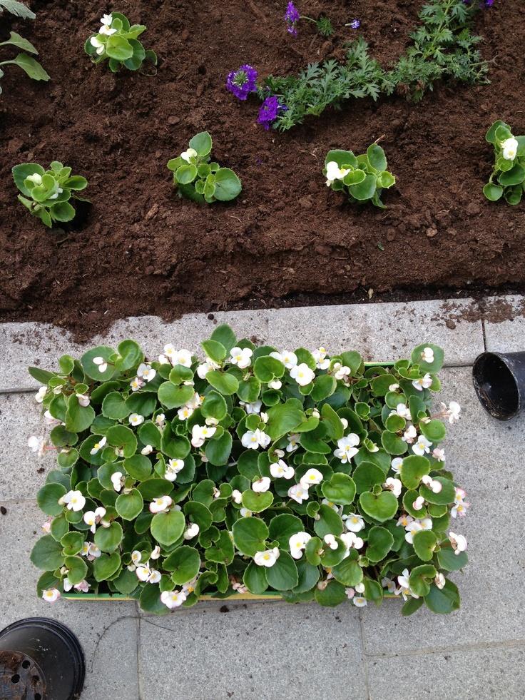 La messa a dimora delle piantine di fiori nell'aiuola di viale Martelli a Pordenone.  Gea si occupa del verde della città! #pordenone #green