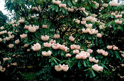 Ericaceae: Rhododendron calophytum