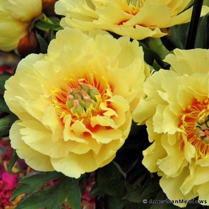 Garden Treasure Itoh Peony Itoh Peonies Peonies Peonies Garden