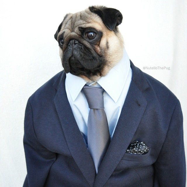 Nutello the Fashionable Pug Has an Amazingly Stylish Wardrobe - My Modern Met