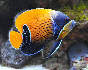 Majestic Angelfish, (Pomacanthus navarchus) Species Profile, Majestic Angelfish, (Pomacanthus navarchus) Hobbyist Guide, Majestic Angelfish, (Pomacanthus navarchus) Care Instructions, Majestic Angelfish care, Feeding and more.  ::  Aquarium Domain.com