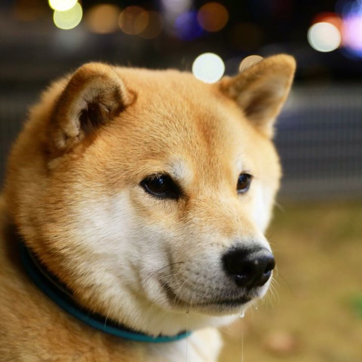 Best The World Can Use A Little More Havok Images On Pinterest - Three shiba inus stick their heads through wall to greet passers by