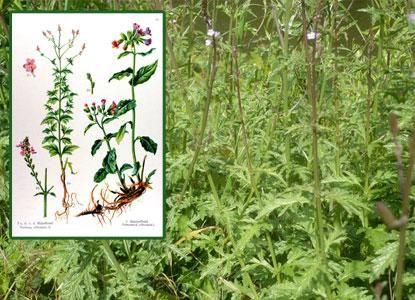 verveine officinale propri t s vertus bienfaits phytoth rapie plante pinterest. Black Bedroom Furniture Sets. Home Design Ideas