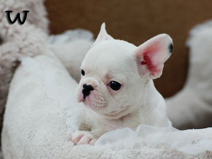 Mini French Bulldogs | Rolls Royce ~ Adorable Mini French Bulldog | Loves