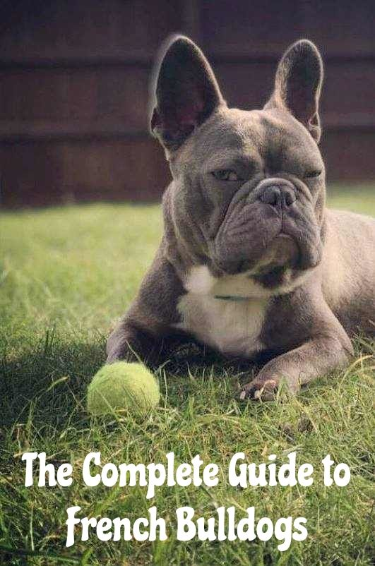 A Complete Guide To The French Bulldog French Bulldog Breed